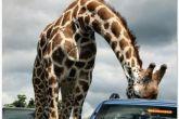 жираф и люк