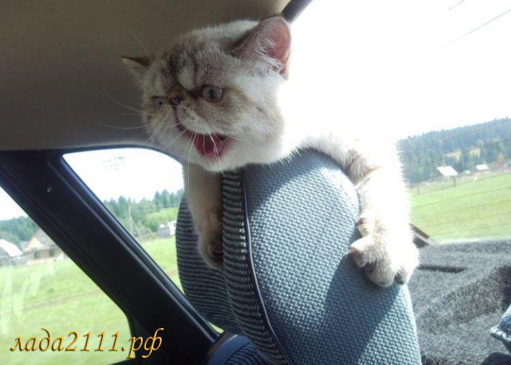 Фото кошки ради которой хозяйка продала машину